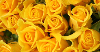黄色 の 薔薇 の 花 言葉
